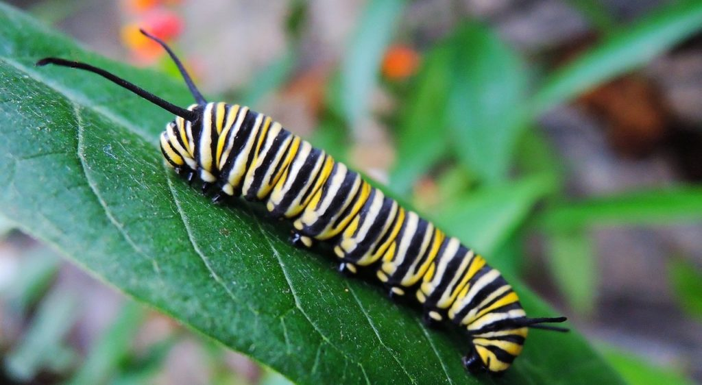 attracting caterpillars to your yard