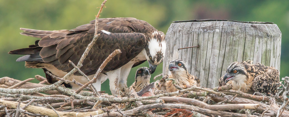baby osprey chicks