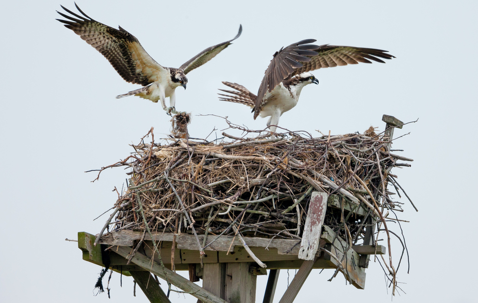 osprey nests