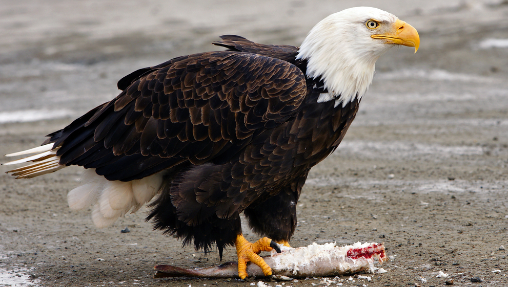 live bald eagle cams
