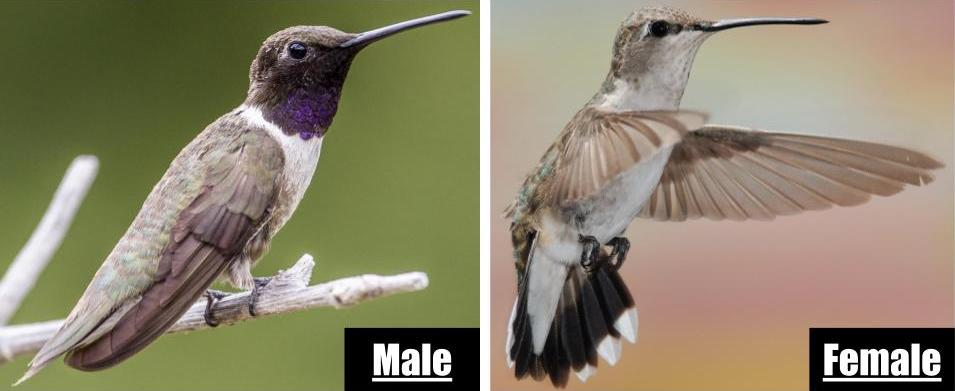 types of hummingbirds