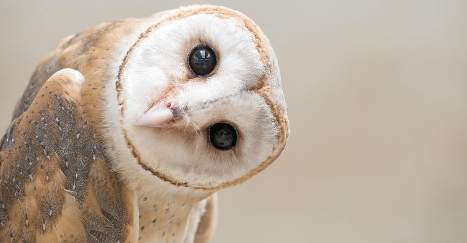 live owl cams