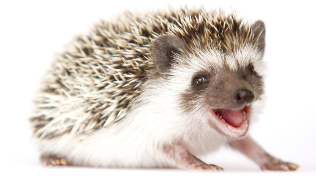 baby hedgehog facts