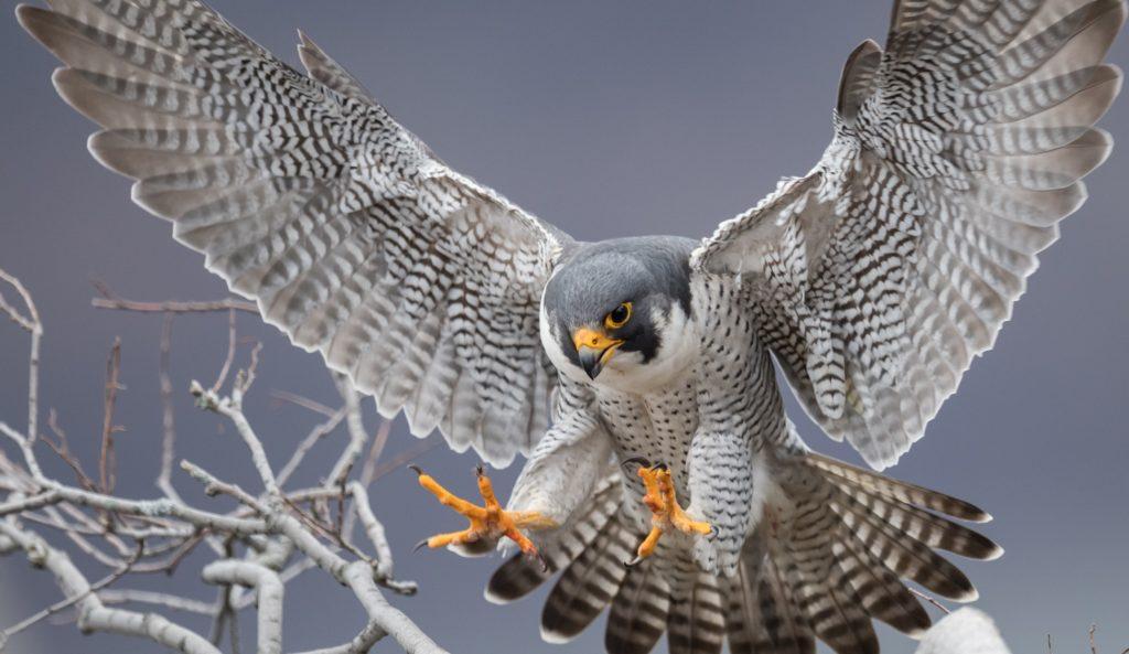 live falcon cam