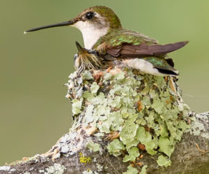 Hummingbird Nests: 7 Fun Facts You Should Know (2021)