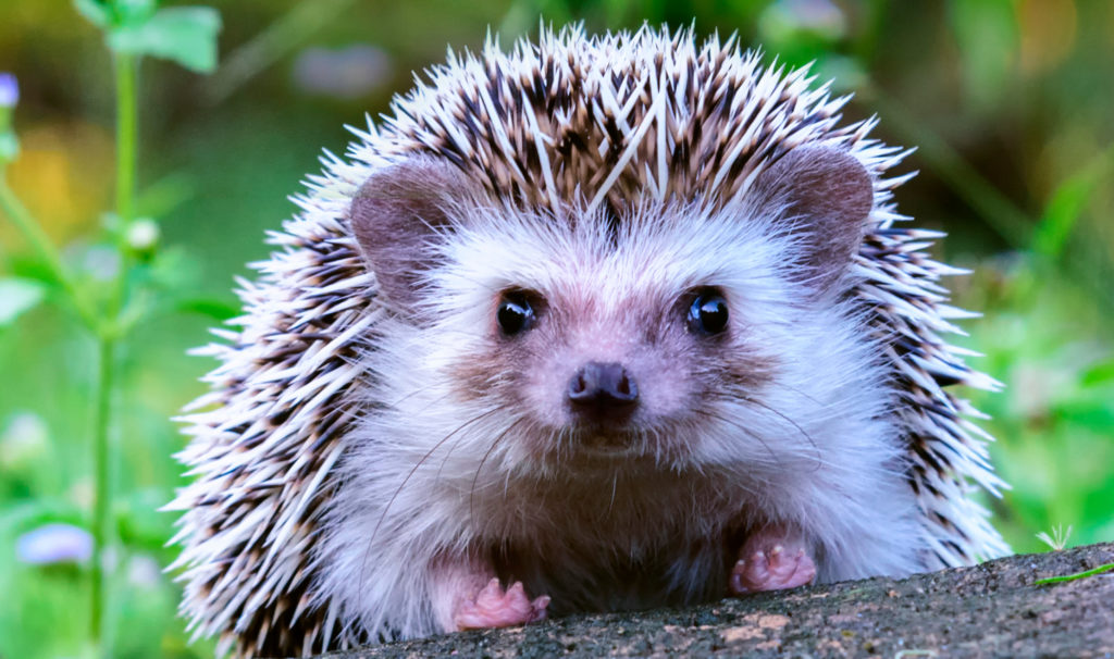 fun facts about hedgehogs