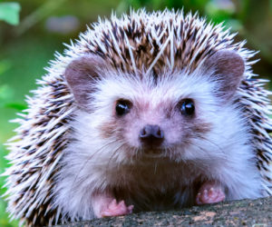 17 Fun Facts About Hedgehogs! [2021]