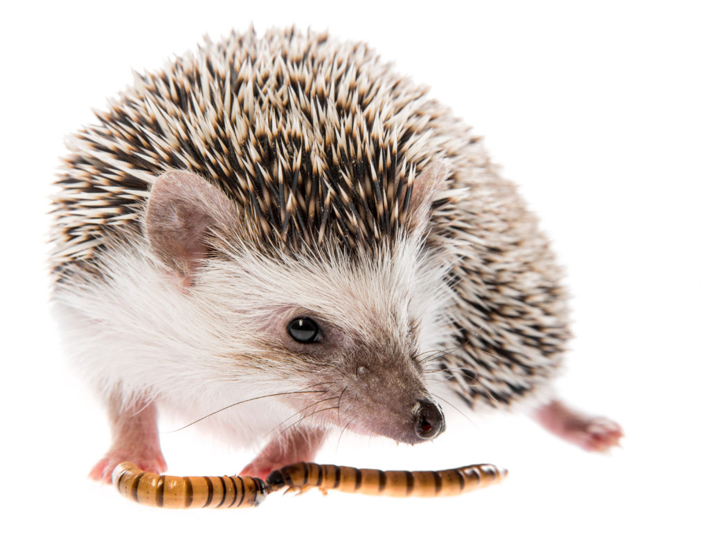 interesting facts about hegehogs