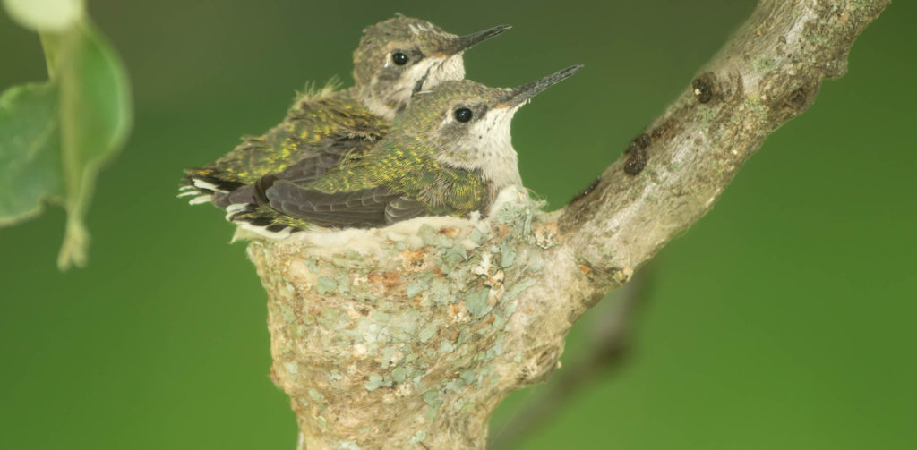species of hummingbirds in alabama