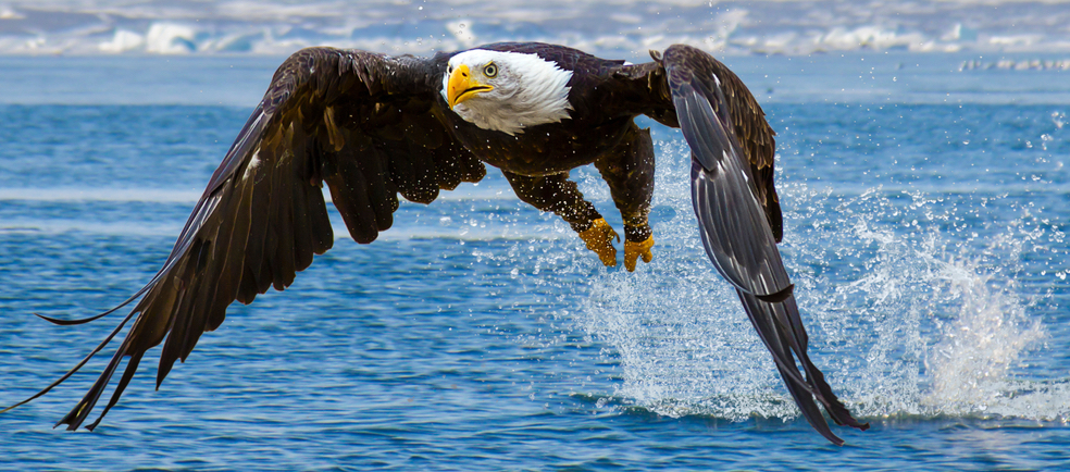 bald eagle hunting