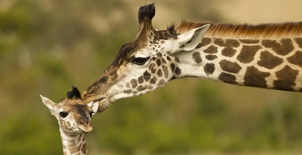 live giraffe cams