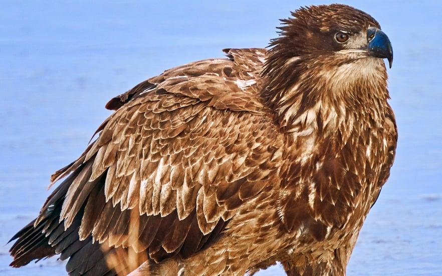 young bald eagle juvenile