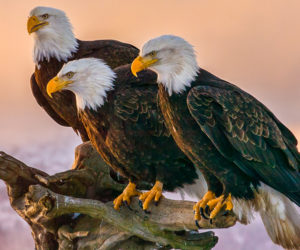 18 Bald Eagle Facts That Will Make You Soar With Joy!