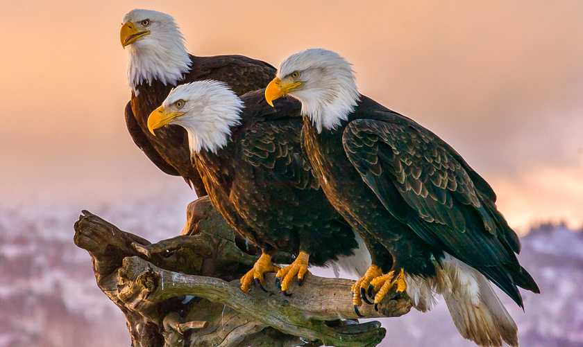 fun facts about bald eagles