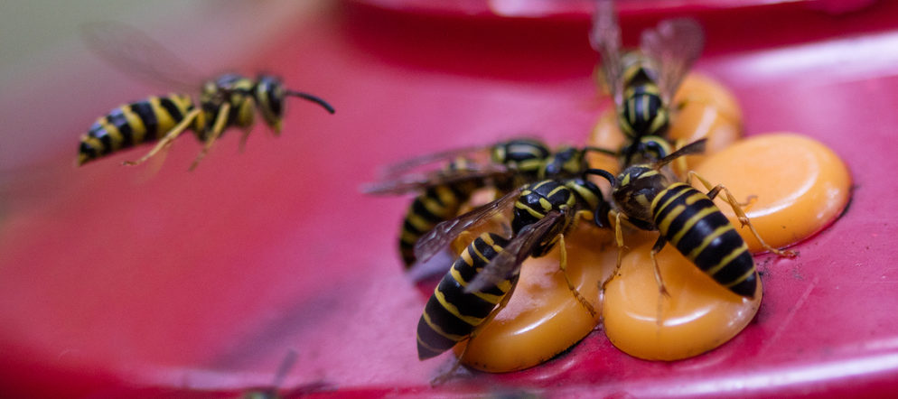 yellow jackets and bees off your hummingbird feeders