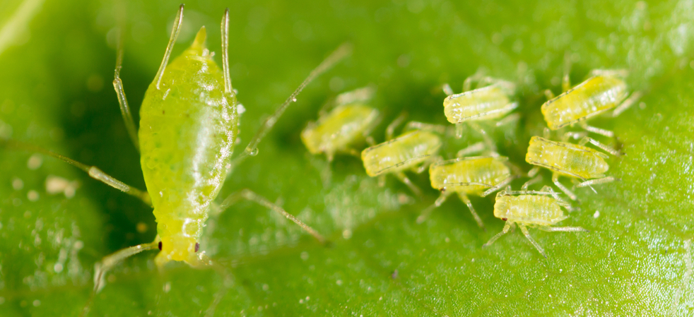 aphids on bee balm
