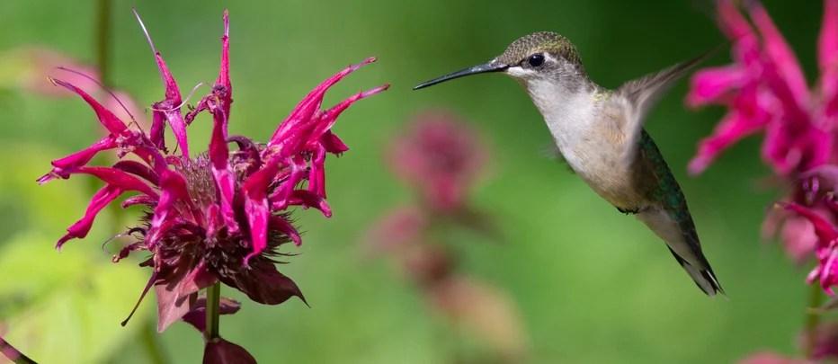bee balm attracts hummingbirds
