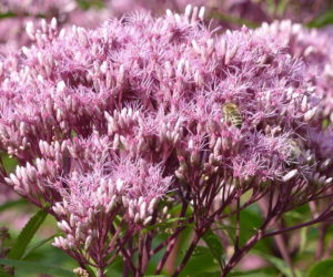 Joe Pye Weed 101: HOW & WHY To Grow This Native Plant!