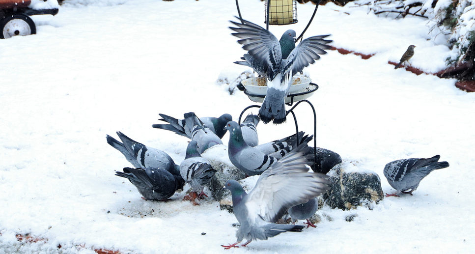 keep pigeons away from your ground bird feeders