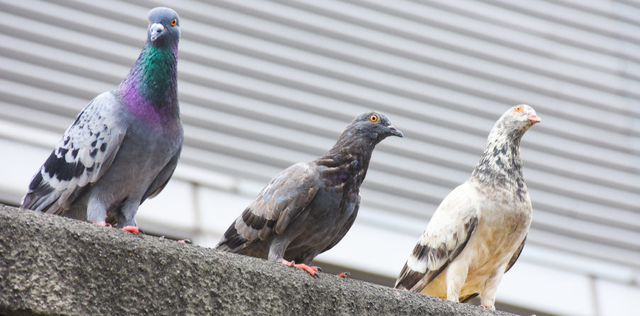 how to keep pigeons off your house