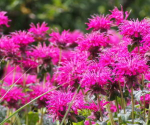 Bee Balm 101: HOW & WHY You Should Grow This Native Plant!
