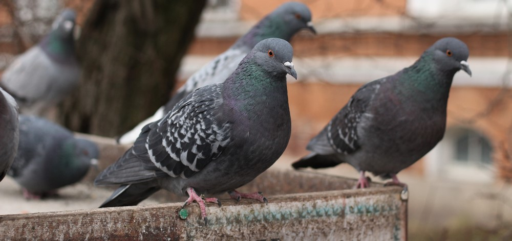 how to get rid of pigeons on bird feeders