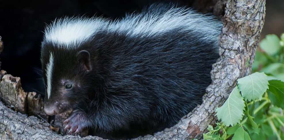 fun and interesting facts about skunks