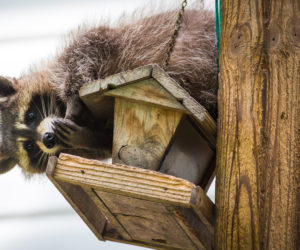 7 Ways To Keep Raccoons OFF Your Bird Feeders! (2021)