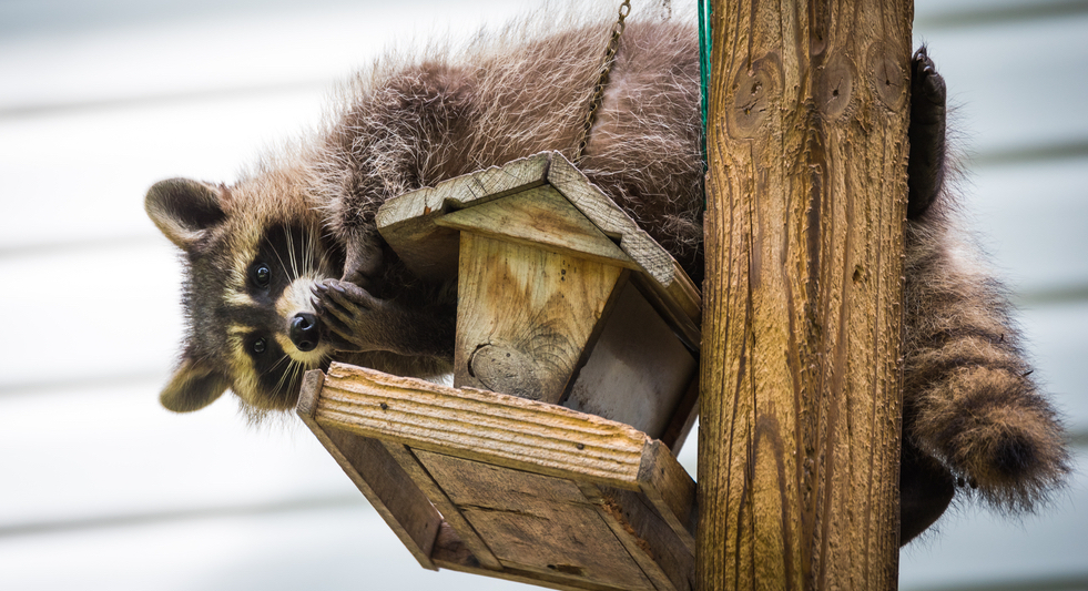how to keep raccoons off bird feeders