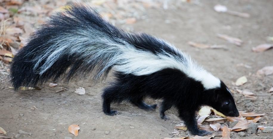fun skunk facts