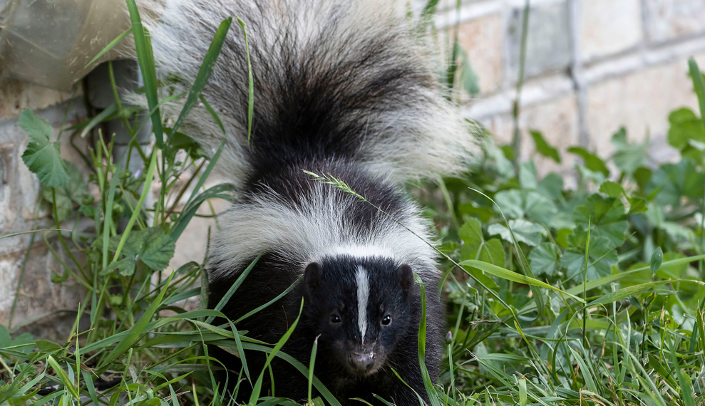 interesting skunk facts