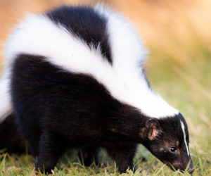 20 Facts About Skunks That Don't Stink! (2021)