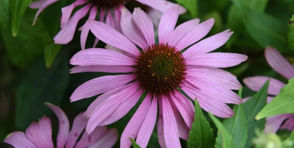 what is purple coneflower?