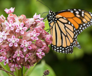 Milkweed 101! (New Guide for 2020)