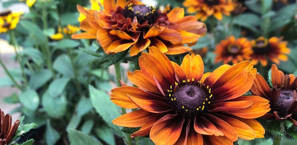 cherokee sunset black eyed susan