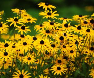 Black-Eyed Susans 101! (NEW Guide for 2020)