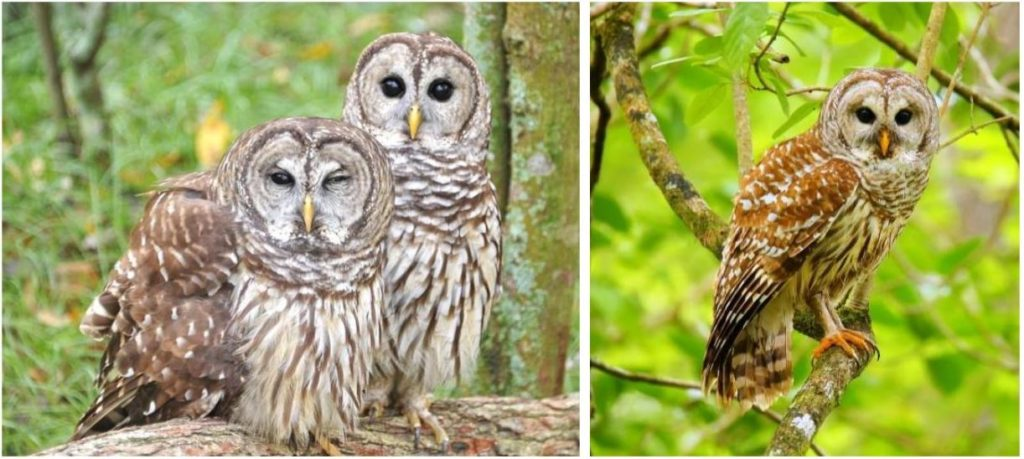 common owls in the united states