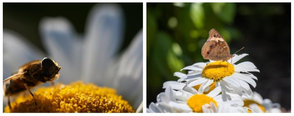 shasta daisies attract bees, butterflies, and birds