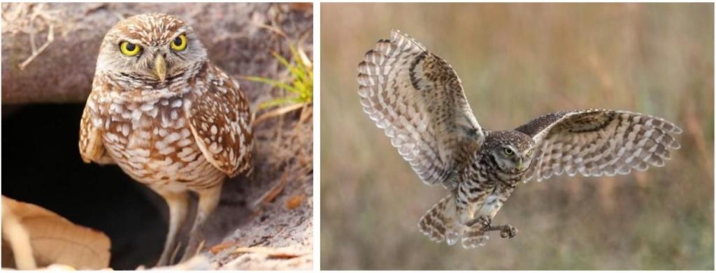 types of owls in the usa