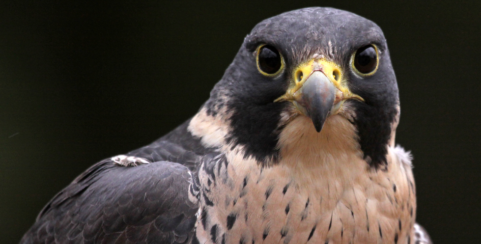 common species of falcons in the united states
