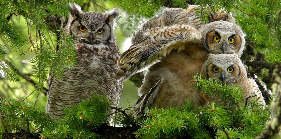 united states owls