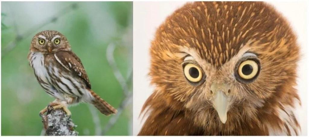 ferruginous owl