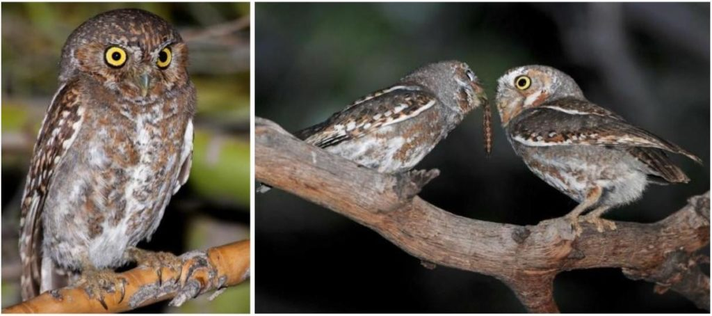 owl species that live in the usa