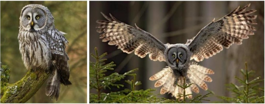 common owls in north america