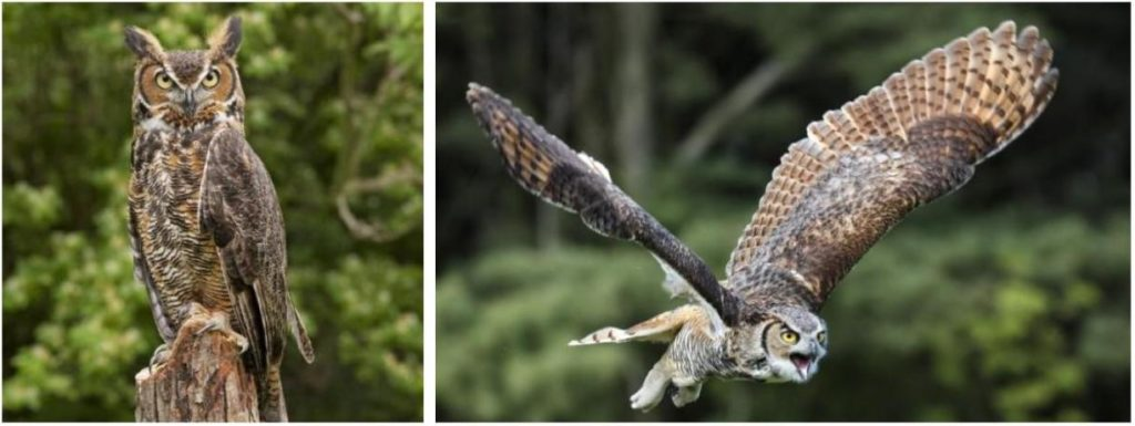 owl species that live in north america