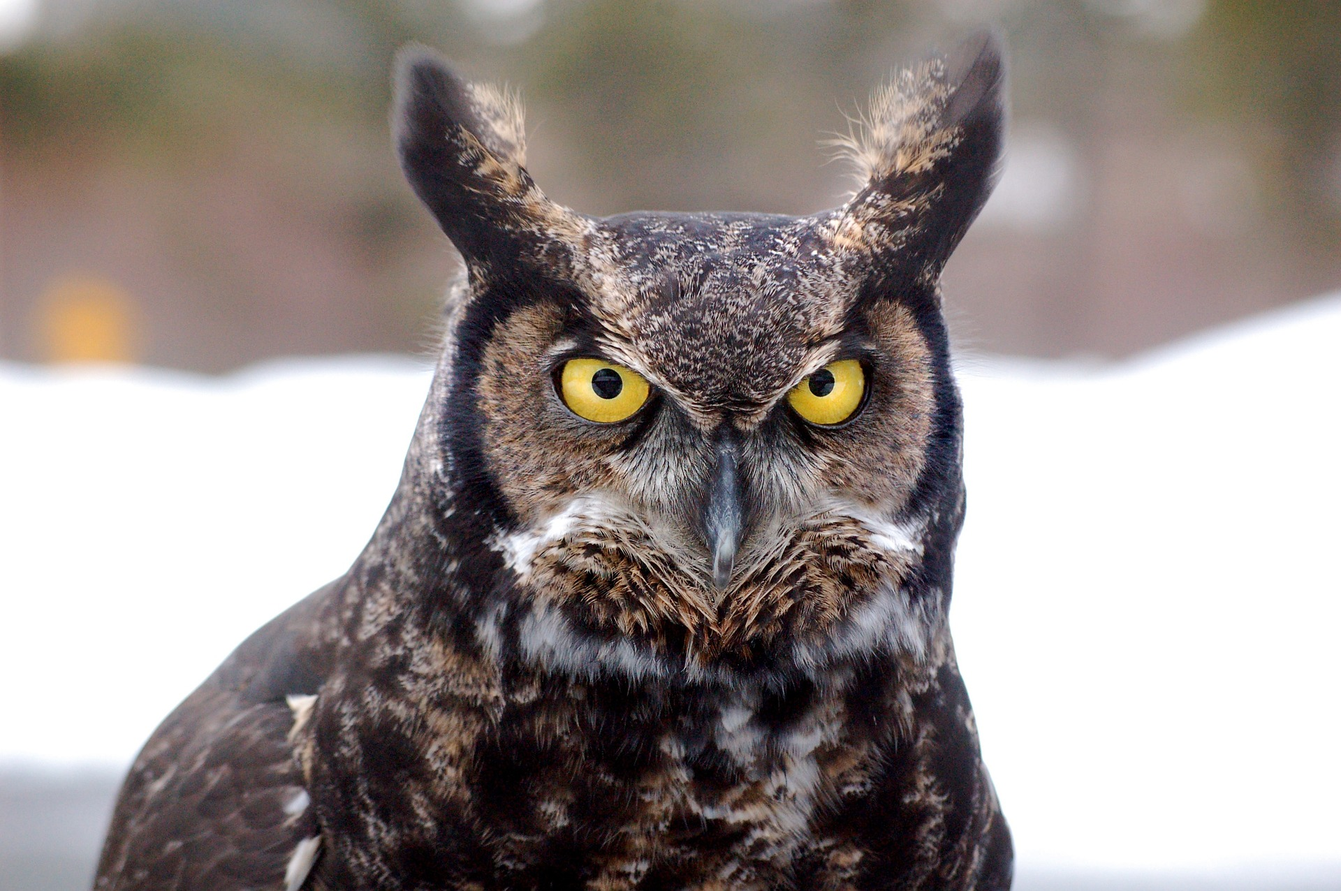 14 Owl Species That Live in California! (2021) - Bird Watching HQ