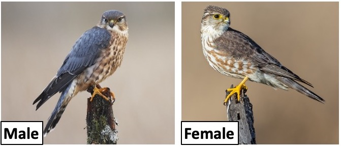 types of falcons in the united states