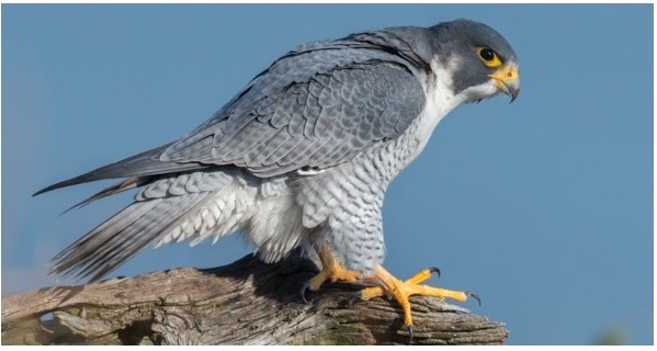 common falcons in the united states