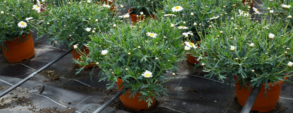 you can buy shasta daisies at the store