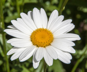 Shasta Daisies 101! (NEW Guide for 2020)